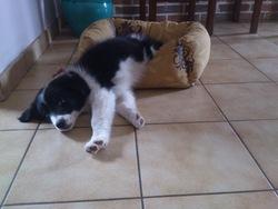 Ioupla, chien Border Collie