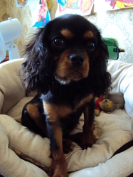 Ioury, chien Cavalier King Charles Spaniel