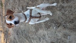 Ipad, chien Jack Russell Terrier