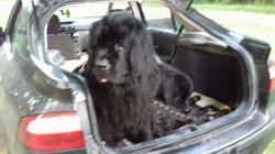 Ipee, chien Terre-Neuve