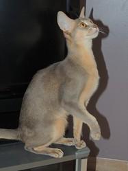 Iphigenie De Ramesseum, chat Abyssin