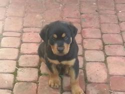 Iphis, chien Rottweiler