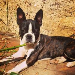 Iphy, chien Terrier de Boston