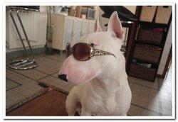 Ipo, chien Bull Terrier