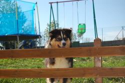 Ipolyte, chien Berger australien