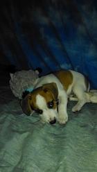 Ipop, chien Jack Russell Terrier