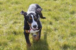 Ipop, chien Grand bouvier suisse