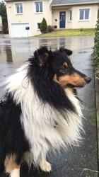 Ipop, chien Berger des Shetland