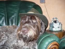 Ipouf, chien Griffon à poil dur Korthals