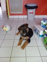 Ippon, chien Berger allemand
