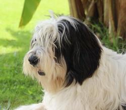 Ippy, chien Berger polonais de plaine