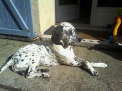Ippy, chien Dalmatien