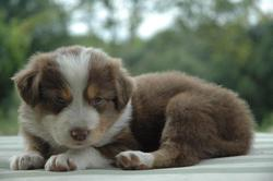 Ippy, chien Berger australien
