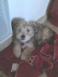 Ippy, chien Yorkshire Terrier