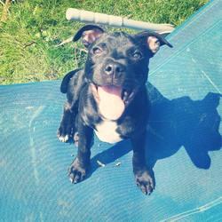 Ippy, chien Staffordshire Bull Terrier