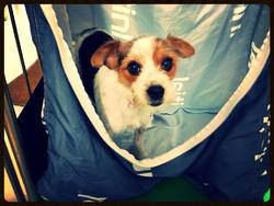 Ippy, chien Jack Russell Terrier