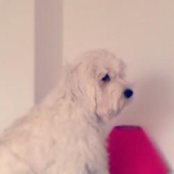 Ippy, chien
