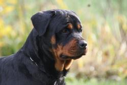 Ippy Du Domaine De La Rêverie, chien Rottweiler
