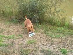 Iprim, chien American Staffordshire Terrier