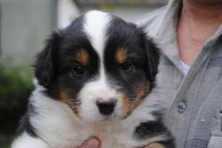 Ipsie, chien Berger australien