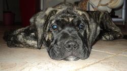 Ipso, chien Dogo canario