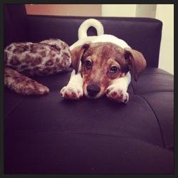Ipso, chien Jack Russell Terrier