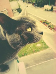 Ipso, chat Chartreux