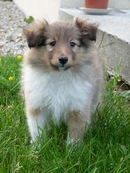 Ipso, chien Berger des Shetland