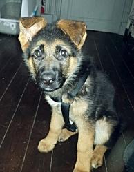 Ipso, chien Berger allemand