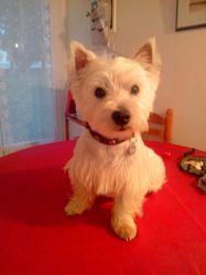 Ipso, chien West Highland White Terrier
