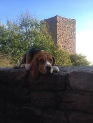 Ipso, chien Beagle