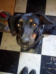 Ipso, chien Beauceron