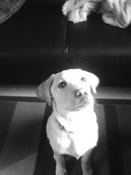 Ipso, chien Labrador Retriever