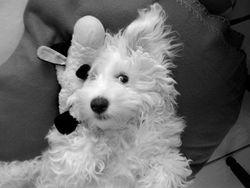 Ipso, chien Bichon à poil frisé