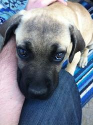 Ipso, chien Cane Corso