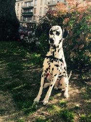 Ipso, chien Dalmatien