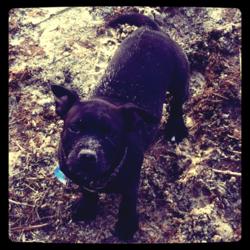 Ipso, chien Staffordshire Bull Terrier