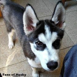 Ipso, chien Husky sibérien