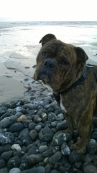 Ipso, chien Bulldog