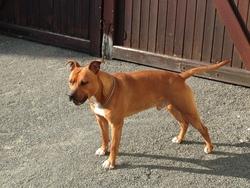 Ipsos, chien American Staffordshire Terrier