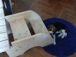 Noa, chien Beagle