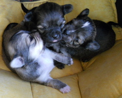 Iptiboy, chien Chihuahua