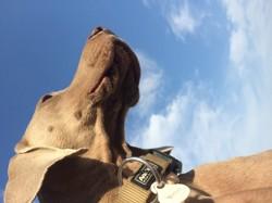 Ira, chien Braque de Weimar