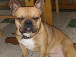 Iragon, chien Bouledogue français