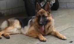 Irambo, chien Berger allemand