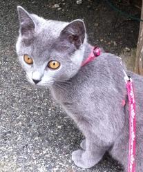 Irène Du Jardindebubatis, chat Chartreux