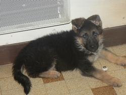 Irex, chien Berger allemand