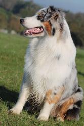 Irgan, chien Berger australien