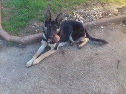 Irich, chien Berger allemand