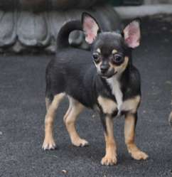 Irina, chien Chihuahua